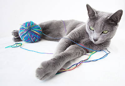 Cat Photograph - Russian Blue by Nailia Schwarz