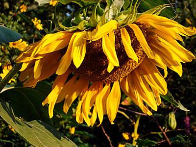 Photograph - Russian Sunflower by Natalie Holland