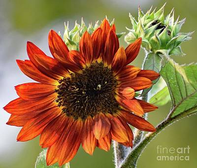 American Milestones - Rustic Beauty - Sunflower by Cindy Treger