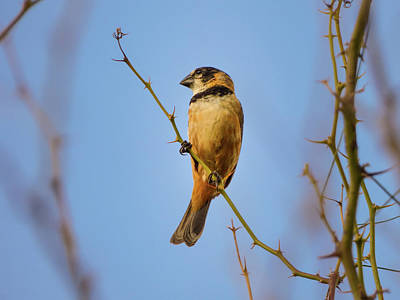 Photograph - Rusty-collared Seedeater by Helissa Grundemann