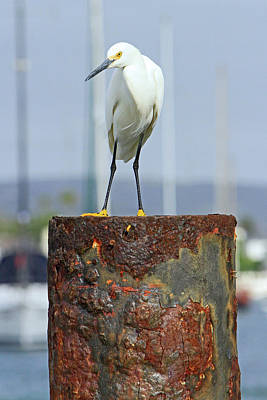 Photograph - Rusty Egret by Shoal Hollingsworth
