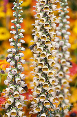 Foxglove Flowers Photograph - Rusty Foxgloves by Tim Gainey
