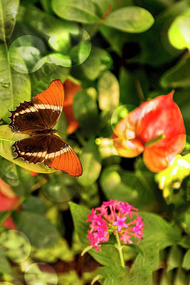 Photograph - Rusty-tipped Page Butterfly Again by Kay Brewer