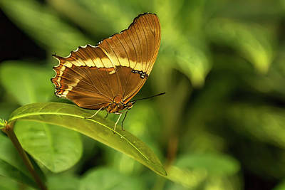 Photograph - Rusty-tipped Page Butterfly by Kay Brewer