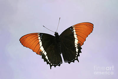 Photograph - Rusty-tipped Page Butterfly V2 by Judy Whitton