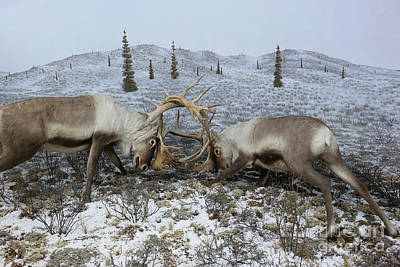 Photograph - Rutting Elk Diorama by Kevin McCarthy