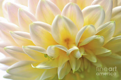 Photograph - Rythmic Petals - Dahlia by Kaye Menner