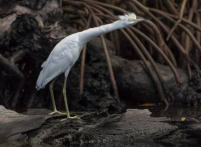 J N Ding Darling National Wildlife Refuge Photograph - S-t-r-e-t-c-h by Debra Larabee