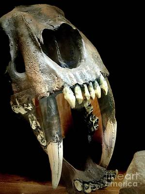 Photograph - Saber Tooth Cat Skull by Susan Garren