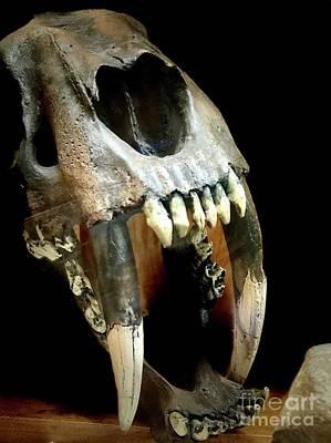Photograph - Saber Tooth Cat Skull by Susan Garren