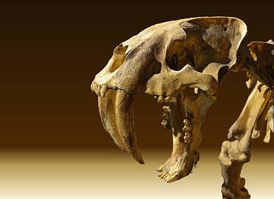 Travel Rights Managed Images - Saber Tooth Tiger 2  Royalty-Free Image by Adam Riggs