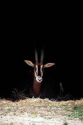 Photograph - Sable Antelope by Michelle Meenawong