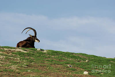 Photograph - Sable Antelope On Hill by Jim And Emily Bush