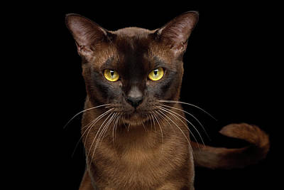 Photograph - Sable Burmese Cat by Sergey Taran