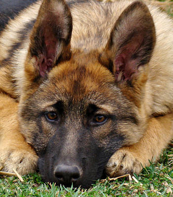 German Shepherd Puppies Photograph - Sable German Shepherd Puppy by Sandy Keeton