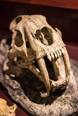 Photograph - Sabretooth Skull  by Scott Harris