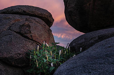 Photograph - Sacred Datura Amongst The Boulders by Gaelyn Olmsted