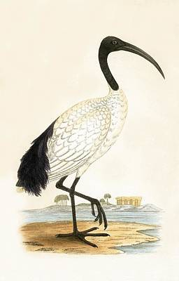 Stork Drawing - Sacred Ibis by English School