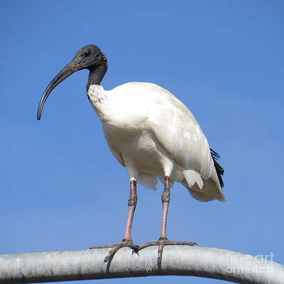 Thoth Photograph - Sacred Ibis by Evie Hanlon