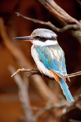 Kingfisher Photograph - Sacred Kingfisher by Mike  Dawson