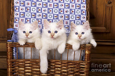 Baby In Basket Photograph - Sacred Kittens Of Burma by Jean-Louis Klein & Marie-Luce Hubert