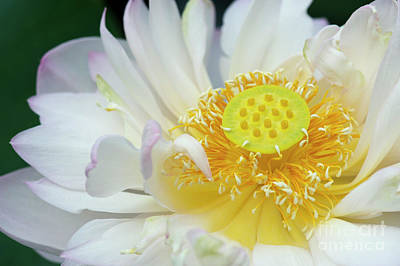 Aquatic Plant Photograph - Sacred Lotus Flower by Tim Gainey
