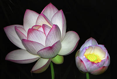 Photograph - Sacred Lotus - Nelumbo Nucifera 001 by George Bostian