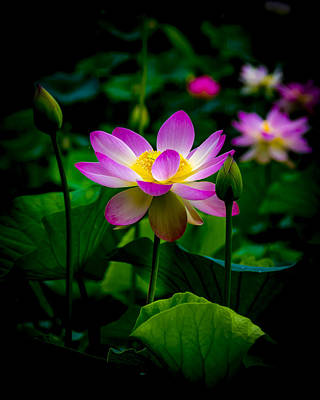 Photograph - Sacred Water Lily 3 by Francisco Gomez