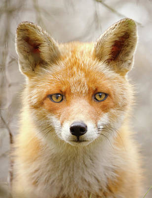 Sad Eyed Fox Of The Lowlands - Red Fox Portrait Art Print by Roeselien Raimond