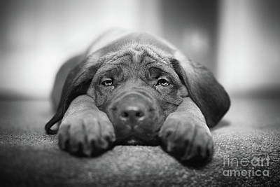 Mastiff Photograph - Sad Eyes by Ian McGregor