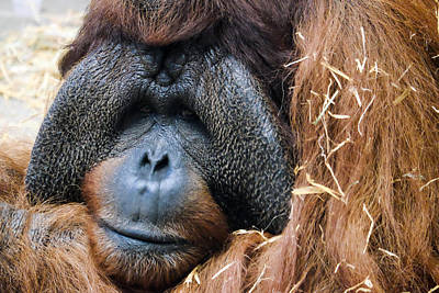 Photograph - Sad Orangutan by John McArthur