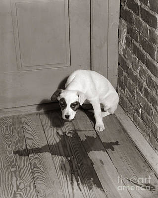 Sad Puppy Being House Trained, C.1950s Art Print by D. Corson/ClassicStock