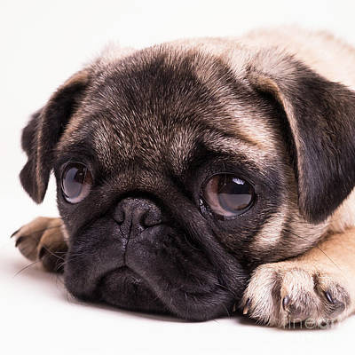 Photograph - Sad Sack - Pug Puppy by Edward Fielding