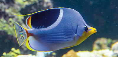 Photograph - Saddle Butterfly Fish by William Bitman