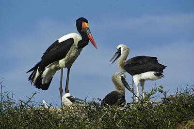Photograph - Saddlebill Storks In Nest by Michele Burgess