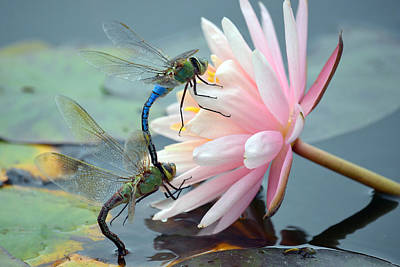 Dragonflies Mating Photograph - Safe Place To Land by Fraida Gutovich