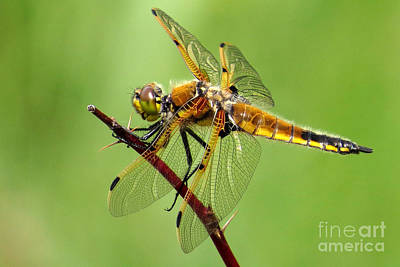 Photograph - Saffron-winged Meadowhawk by Frank Townsley