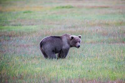 Bears Photograph - Sage by Ed Boudreau