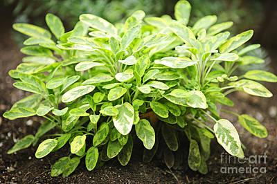 Salvia Photograph - Sage Plant by Elena Elisseeva