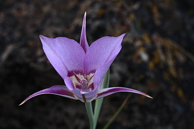 Purple Photograph - Sagebrush Mariposa Lilly by Gary Wing