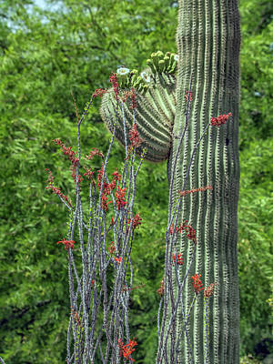 Photograph - Saguaro And Ocotillo by Tam Ryan
