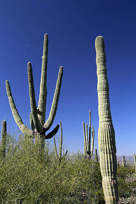 Photograph - Saguaro And Tiny Moon by Mary Bedy