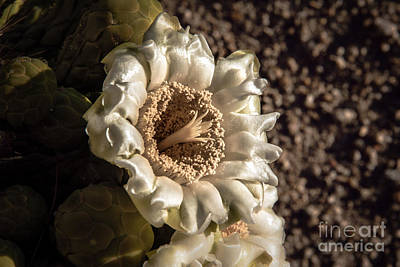 Photograph - Saguaro Bloom by Robert Bales