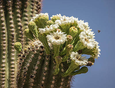 Photograph - Saguaro Blooms And Bees-img_6923 by Rosemary Woods-Desert Rose Images