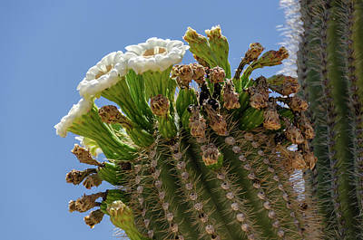 Art Print featuring the photograph Saguaro Blooms by Gaelyn Olmsted