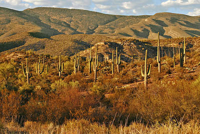 Saguaro Cactus - A Very Unusual Looking Tree Of The Desert Print by Christine Till