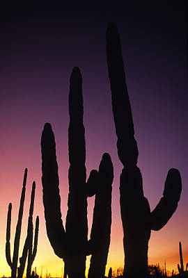 Saguaro Cactus Are Silhouetted By An Print by Bill Hatcher
