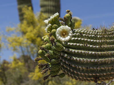 Photograph - Saguaro Cactus Arm With Flowers by Jean Noren
