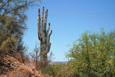 Tree Photograph - Saguaro Cactus by Ric Schafer