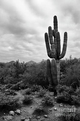 Photograph - Saguaro Cactus  by Tamara Becker